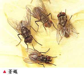 蝇类的危害与防治