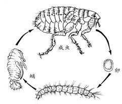 蚤类的危害与防 制