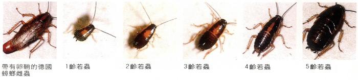 蟑螂的危害