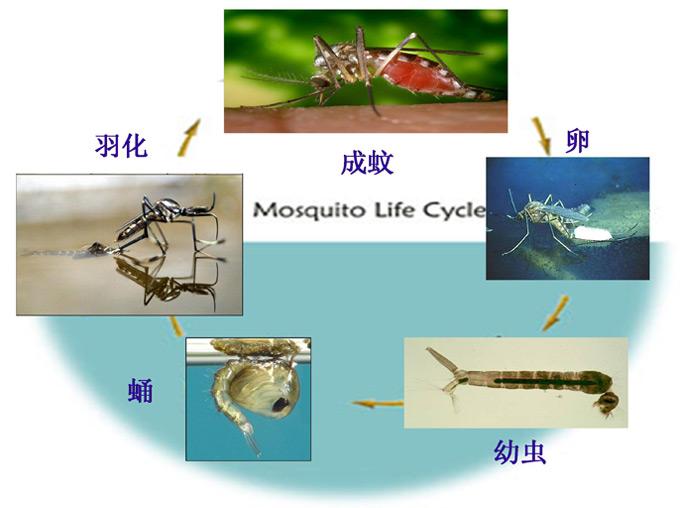 蚊类的危害与防治
