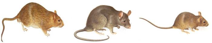 北京灭鼠公司 专业灭鼠 老鼠防制 北京灭老鼠公司 第