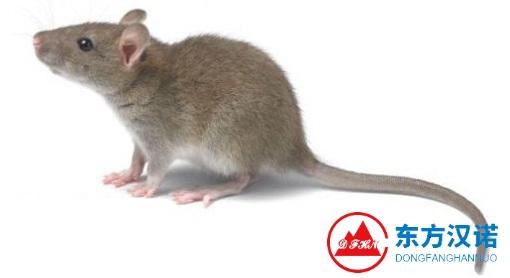 【灭鼠公司,关于粘鼠板灭鼠的几个常识!—北京专业灭鼠公司东方汉诺】