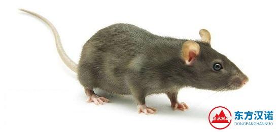 【灭老鼠公司】东方汉诺—北京快讯