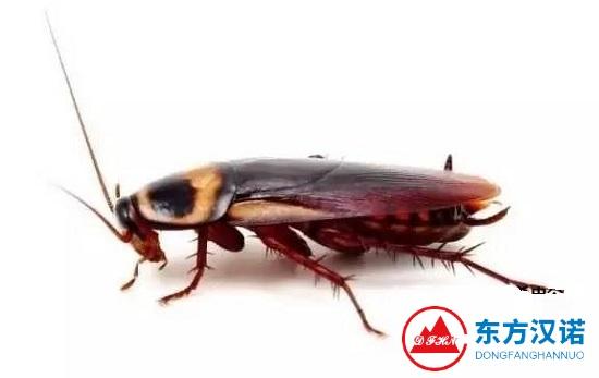 【北京灭蟑螂公司】东方汉诺—北京快讯