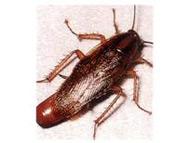 蟑螂 Cockroach