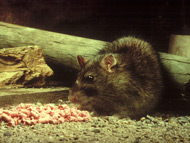 老鼠  Rodent