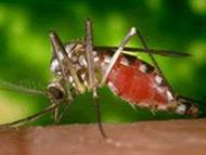 蚊子 Mosquito