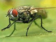 苍蝇 Fly