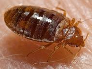 臭虫 Bedbug