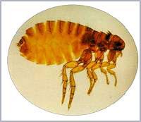 跳蚤 Flea