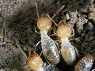 白蚁  Termite